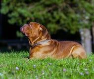 Dogue de Bordeaux ou mastiff français Photos stock
