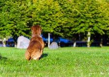 Dogue de Bordeaux ou mastiff français Image libre de droits