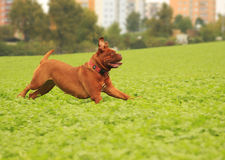 Dogue de Bordeaux Stock Photos