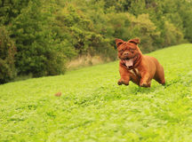 Dogue de Bordeaux Royalty Free Stock Images