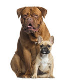 Dogue de Bordeaux panting and French bulldog puppy sitting Royalty Free Stock Photo