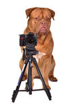 Dogue De Bordeaux photographer with camera Stock Images