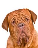 Dogue de Bordeaux Portrait Stock Image