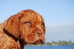 Dogue de Bordeaux Pup Image stock