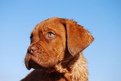 Dogue de Bordeaux Pup Images stock