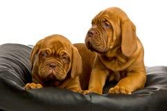Dogue De Bordeaux puppies Royalty Free Stock Photo