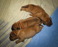 Dogue de Bordeaux - Puppies - Age 11 days Royalty Free Stock Photography
