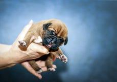 Dogue de Bordeaux - Puppies - 6 days Royalty Free Stock Image