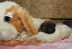 Dogue de Bordeaux - Puppies - 10 days from birth Royalty Free Stock Photos