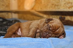 Dogue de Bordeaux - Puppies - 7 days old royalty free stock photo