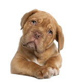 Dogue de Bordeaux puppy, 10 weeks old, lying. In front of white background stock photography