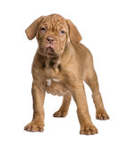 Dogue de Bordeaux puppy (2 months) Royalty Free Stock Images