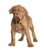 Dogue de Bordeaux puppy (2 months) Royalty Free Stock Images