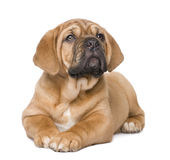 Dogue de Bordeaux puppy (2 months) stock image