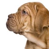 Dogue de Bordeaux puppy (2 months) Royalty Free Stock Image