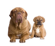 Dogue de Bordeaux puppy (2 months) Stock Photography
