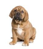 Dogue de Bordeaux puppy (2 months) Stock Photos
