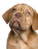Dogue de Bordeaux puppy (2 months) Stock Images