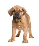 Dogue de Bordeaux puppy (2 months) Royalty Free Stock Photo