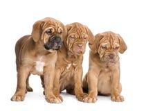 Dogue de Bordeaux puppy (2 months) Royalty Free Stock Photos