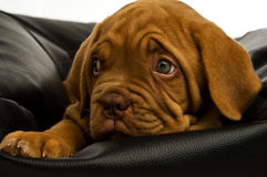 Dogue De Bordeaux puppy Stock Photos