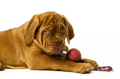 Dogue De Bordeaux puppy Stock Photo