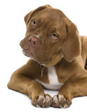 Dogue de Bordeaux puppy, 5 months old, lying Royalty Free Stock Photography