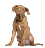 Dogue de Bordeaux puppy, 5 months old, sitting Stock Photography
