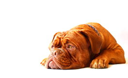 Dogue de Bordeaux Puppy Photo stock