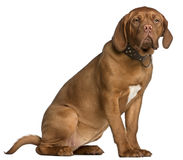 Dogue de Bordeaux puppy, 6 months old, sitting Stock Image