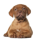 Dogue de Bordeaux puppy, 8 weeks old Royalty Free Stock Photos