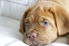Dogue de Bordeaux puppy. Closeup of face Royalty Free Stock Images