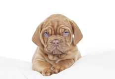 Dogue de Bordeaux Puppy Stock Photography