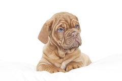 Dogue de Bordeaux Puppy (French mastiff) Royalty Free Stock Photo