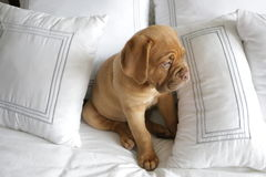 Dogue de Bordeaux puppy. French mastiff puppy on white bed, tired out Royalty Free Stock Photo