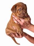 Dogue De Bordeaux puppy in the hands Stock Photos