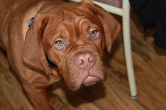 Dogue de bordeaux puppy. In the house Stock Image
