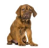 Dogue de Bordeaux puppy Royalty Free Stock Photography