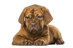 Dogue de Bordeaux puppy Stock Photos