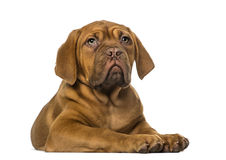 Dogue de Bordeaux puppy Royalty Free Stock Image