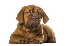 Dogue de Bordeaux puppy Royalty Free Stock Photos