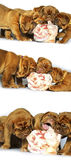 Dogue de Bordeaux puppy and a large bone, raw meat Royalty Free Stock Photos