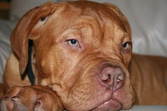 Dogue de bordeaux puppy. Laying down Stock Photo