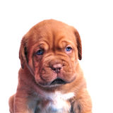 Dogue De Bordeaux puppy portrait Royalty Free Stock Photos
