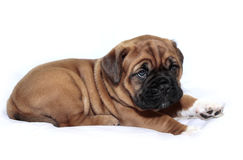 Dogue de Bordeaux - Puppy - Rare Black Mask Royalty Free Stock Photography
