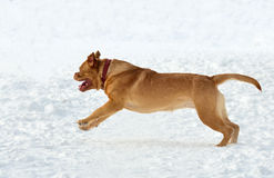 Dogue De Bordeaux puppy running in snow Stock Photography