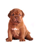 Dogue De Bordeaux puppy sitting Royalty Free Stock Image
