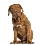Dogue de Bordeaux puppy sitting (4 months old) Stock Image