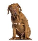 Dogue de Bordeaux puppy sitting (4 months old) Stock Image