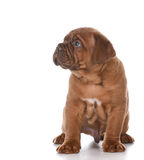 Dogue de bordeaux Stock Image
